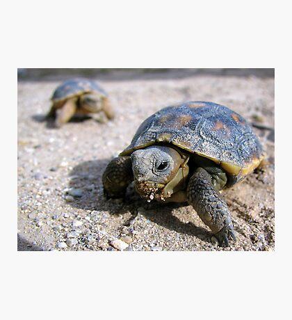 Desert Tortoises ~ Hatchlings (4-5 weeks) Photographic Print