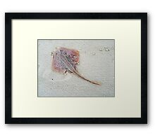 Little Skate - Leucoraja erinacea Framed Print