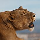 Lioness at Sunset by Peggy Coleman