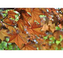 Beautiful Bronze Leaves Photographic Print