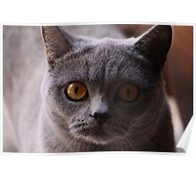 Cat Stare Poster