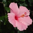 Hibiscus at the Conservatory by Karen L Ramsey