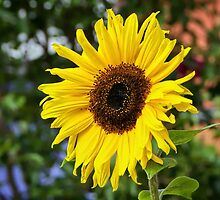 Sunflower by Susie Peek