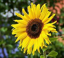 Sunflower by Susie Peek