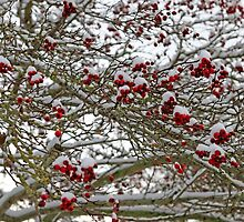 Snow covered tree full of red berries by Chris L Smith