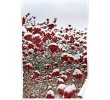 Red berries on a tree covered with snow Poster
