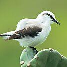 Fluffy Bird by Robert Abraham
