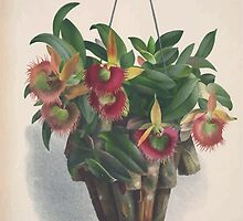 Iconagraphy of Orchids Iconographie des Orchidées Jean Jules Linden V4 1888 0022 by wetdryvac