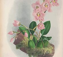Iconagraphy of Orchids Iconographie des Orchidées Jean Jules Linden V4 1888 0122 by wetdryvac