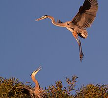 120410 Great Blue Herons by Marvin Collins