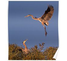 120410 Great Blue Herons Poster