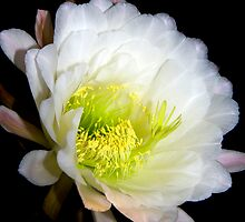 Golden Torch Cereus ~ Echinopsis spachiana  by Lucinda Walter
