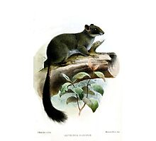 Funky Cameroon Scaly-tail Photographic Print