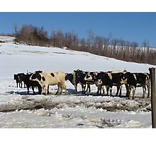 Cold Cows Photographic Print