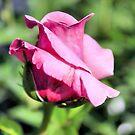 Pink Rose by SuddenJim
