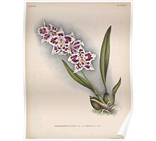 Iconagraphy of Orchids Iconographie des Orchidées Jean Jules Linden V15 1899 0122 Poster