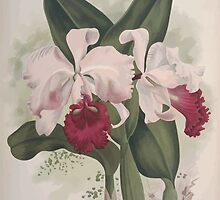 Iconagraphy of Orchids Iconographie des Orchidées Jean Jules Linden V10 V10 1897 0176 by wetdryvac