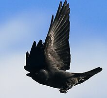 The Jackdaw by snapdecisions