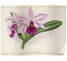 Iconagraphy of Orchids Iconographie des Orchidées Jean Jules Linden V16 1900 0146 Poster