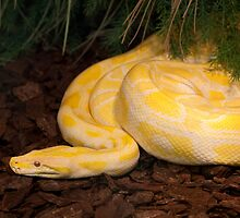 Yellow Burmese Python by Mythos57