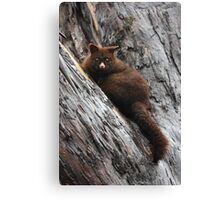 Brush Tail Possum Canvas Print