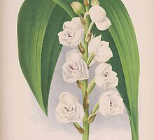 Iconagraphy of Orchids Iconographie des Orchidées Jean Jules Linden V15 1899 0042 by wetdryvac