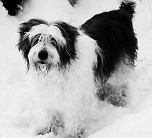 Black and White Beardie. by Charles  Staig
