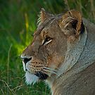 Lioness Portrait v2 by JMChown