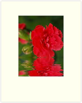Spicy Dianthus! by Diane Schuster