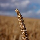 Ear Of Wheat by Billy Hodgkins