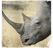White rhino up close Poster