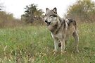 Grassland wolf by Anthony Brewer