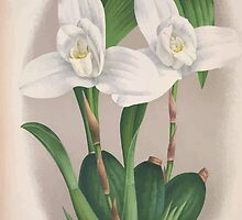 Iconagraphy of Orchids Iconographie des Orchidées Jean Jules Linden V4 1888 0046 by wetdryvac