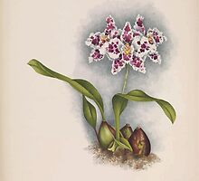 Iconagraphy of Orchids Iconographie des Orchidées Jean Jules Linden V15 1899 0018 by wetdryvac