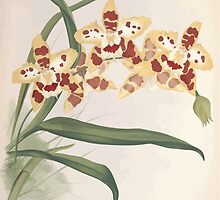 Iconagraphy of Orchids Iconographie des Orchidées Jean Jules Linden V12 V13 1897 0054 by wetdryvac
