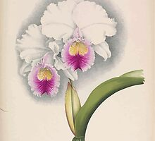Iconagraphy of Orchids Iconographie des Orchidées Jean Jules Linden V15 1899 0090 by wetdryvac