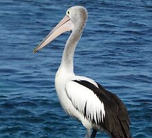 Pelican at Point Peron by kalaryder