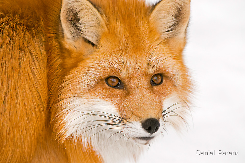 Foxey by Daniel  Parent