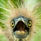 """""""Young Einstein"""" - Baby Tri-Colored Heron Calls Out From Nest by ArtThatSmiles"""