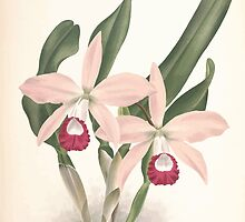 Iconagraphy of Orchids Iconographie des Orchidées Jean Jules Linden V9 V9 1894 0146 by wetdryvac