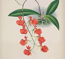 Iconagraphy of Orchids Iconographie des Orchidées Jean Jules Linden V15 1899 0010 by wetdryvac