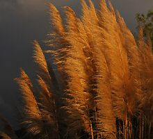 Golden Grass by photojeanic
