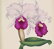 Iconagraphy of Orchids Iconographie des Orchidées Jean Jules Linden V15 1899 0178 by wetdryvac