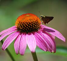 Echinacea by Agro Films