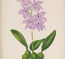 Iconagraphy of Orchids Iconographie des Orchidées Jean Jules Linden V15 1899 0058 by wetdryvac