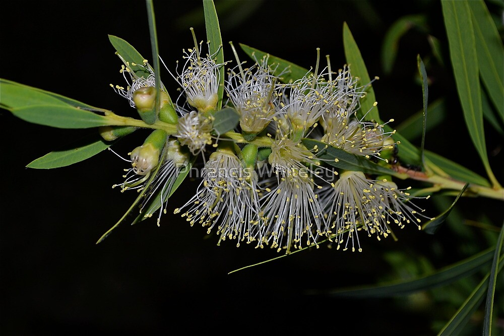 Bottle brush beauty by Phrancis Whiteley