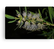 Bottle brush beauty Canvas Print
