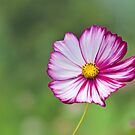 Cosmos Flower by Ellen McKnight