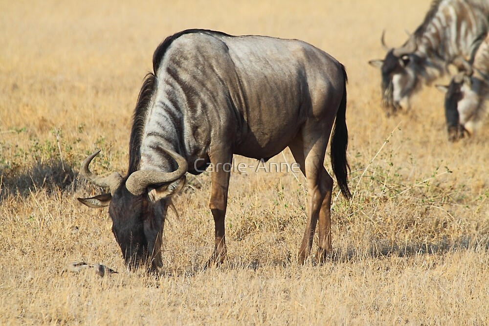 White Race Wildebeest Grazing by Carole-Anne
