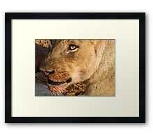 Sparta Lioness Relaxing After Meal Framed Print